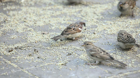 Feasting Sparrows stock footage