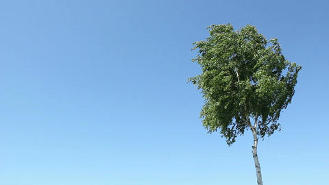 Birch and blue sky Stock Video Footage