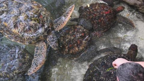 People Algae Feeding Giant Sea Turtles in Baraka Natural Aquarium, Zanzibar Live Action