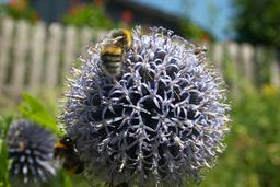 bumble bees on globethistle Foto