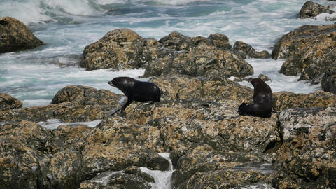 Fur seal sleep and rest at the rock hit by wave at Kaikoura Beach, South Island Live Action