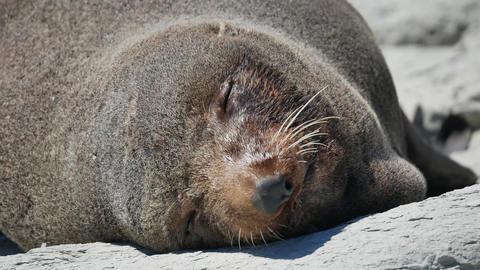 Fur seal sleep under hot sun at Kaikoura Beach, South Island Live Action
