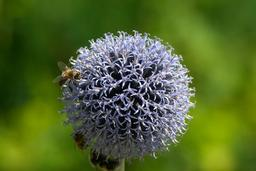 bee on globethistle 사진