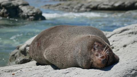 Fur seal sleep near the shoreline at Kaikoura Beach, South Island Live Action