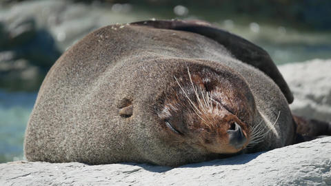Fur seal sleep on rock during morning at Kaikoura Beach, South Island Live Action