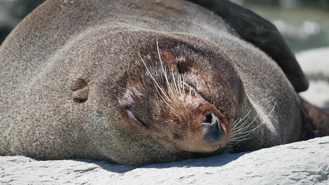 Close up the head of fur seal during sleep at Kaikoura Beach, South Island Live Action