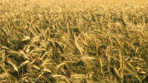 Golden Wheat Stock Video Footage