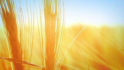 Wheat background Stock Video Footage