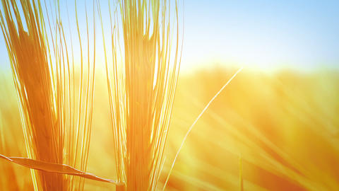 Wheat background Footage