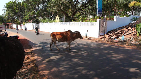 Holy cow in Indian street Stock Video Footage