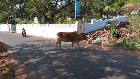 Holy cow in Indian street Footage
