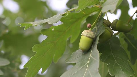 acorn with oak Stock Video Footage