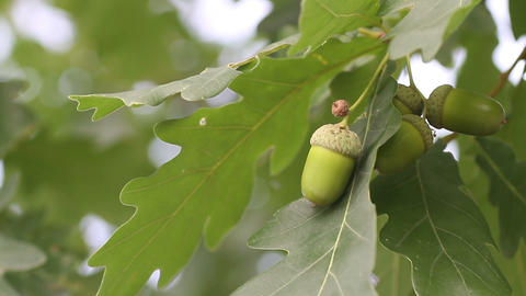 acorn with oak Footage