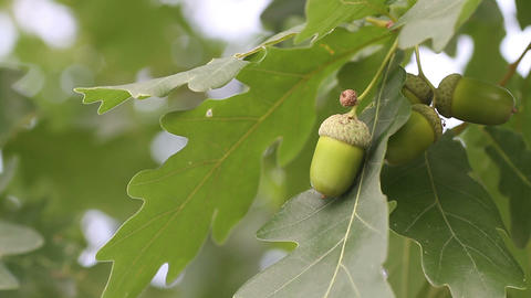 acorn with oak Stock Video Footage