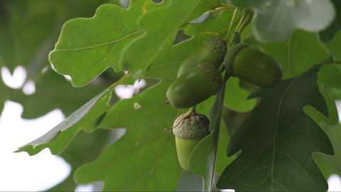 green unripe acorns Footage