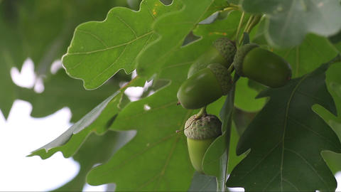 green unripe acorns Stock Video Footage