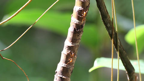 ants walk along a branch Stock Video Footage