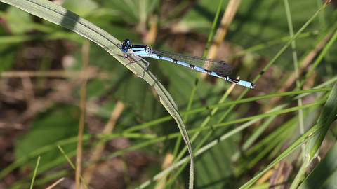 Blue Damselfly Footage