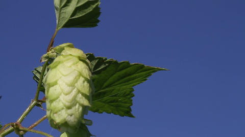 hop close up Stock Video Footage