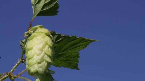 Hop Close Up stock footage