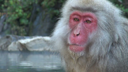 Snow monkeys in Japan Stock Video Footage