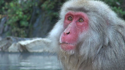 Snow monkeys in Japan Footage