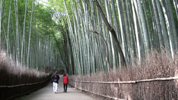 Tourists stroll through the famous 'bamboo grove' Stock Video Footage