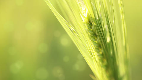 Ear of wheat on an abstract background Footage