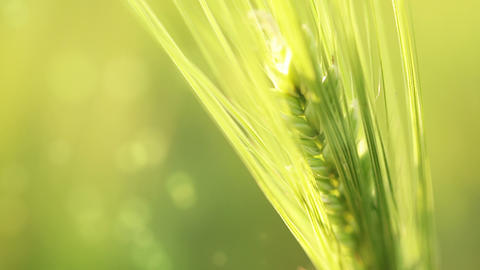 Ear of wheat on an abstract background Stock Video Footage