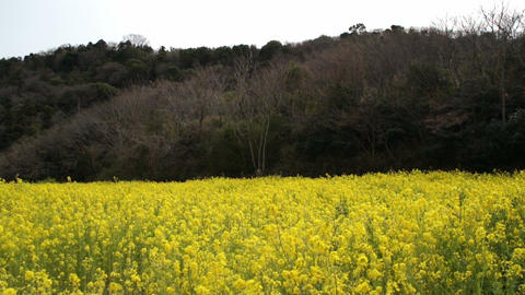 Field Mustard 菜の花 1