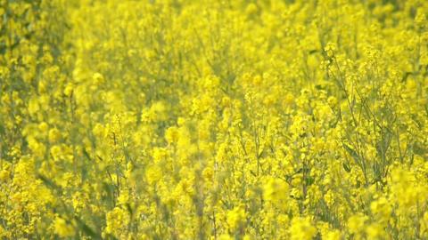 Field Mustard 菜の花 2
