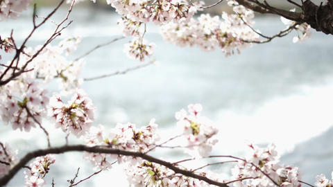 Cherry Blossoms 桜 2