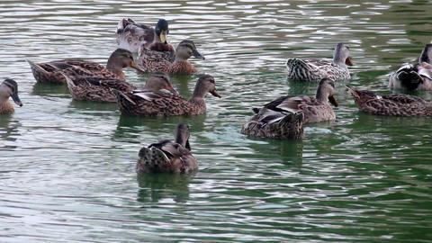 wild ducks at the pond Footage
