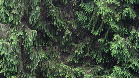 fir in the rain Footage