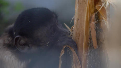 Little monkey rips off tree bark Live Action