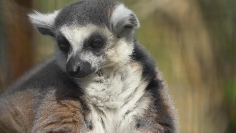 The fluffy face of a lemur is beautiful The fluffy animal wrinkles its eyes in the sun Live Action