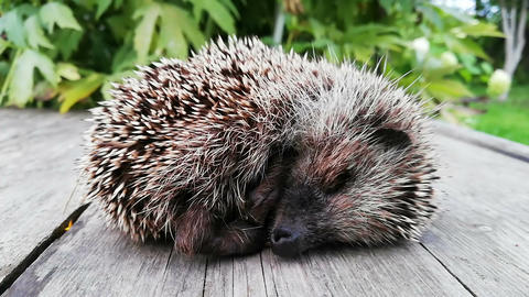 Sleeping hedgehog Cute sleeping hedgehog erinaceus europaeus Live Action