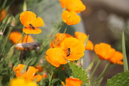 orange small garden flowers with bees 相片