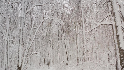 Winter landscape with snowy birch trees in the park. Winter snowy forest with Live Action