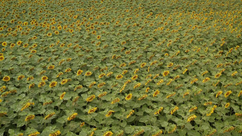 Sunflowers in cloudy weather. Field of sunflowers in cloudy weather. The Live Action
