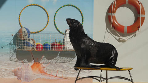 fur seal on the stage on the background of sports equipment Live Action