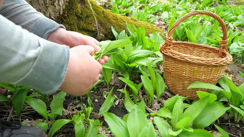 Fresh ramsons in a basket. Hands carefuly harvesting fresh green leaves of wild garlic Live Action