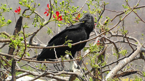 Black Vulture in Oaxaca Mexico 1 Stock Video Footage