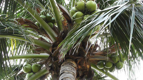 Coconut Tree 2 Stock Video Footage