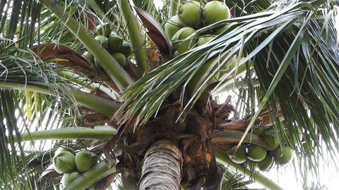Coconut Tree 2 Footage