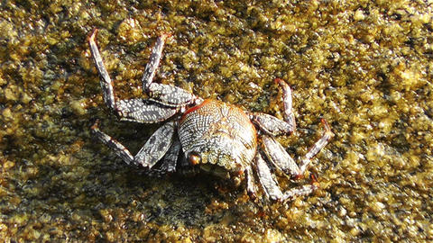 Crab in Rocky Ocean Shore 4 Footage