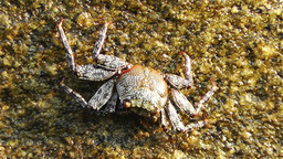 Crab in Rocky Ocean Shore 4 Stock Video Footage