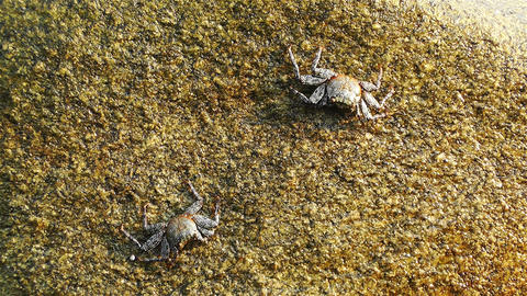 Crabs in Rocky Ocean Shore 1 Stock Video Footage
