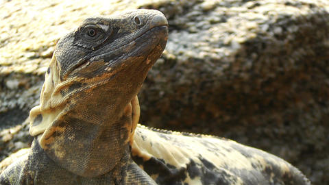 Iguana in Mexico 2 Footage