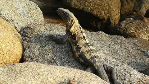 Iguana in Mexico 4 Stock Video Footage